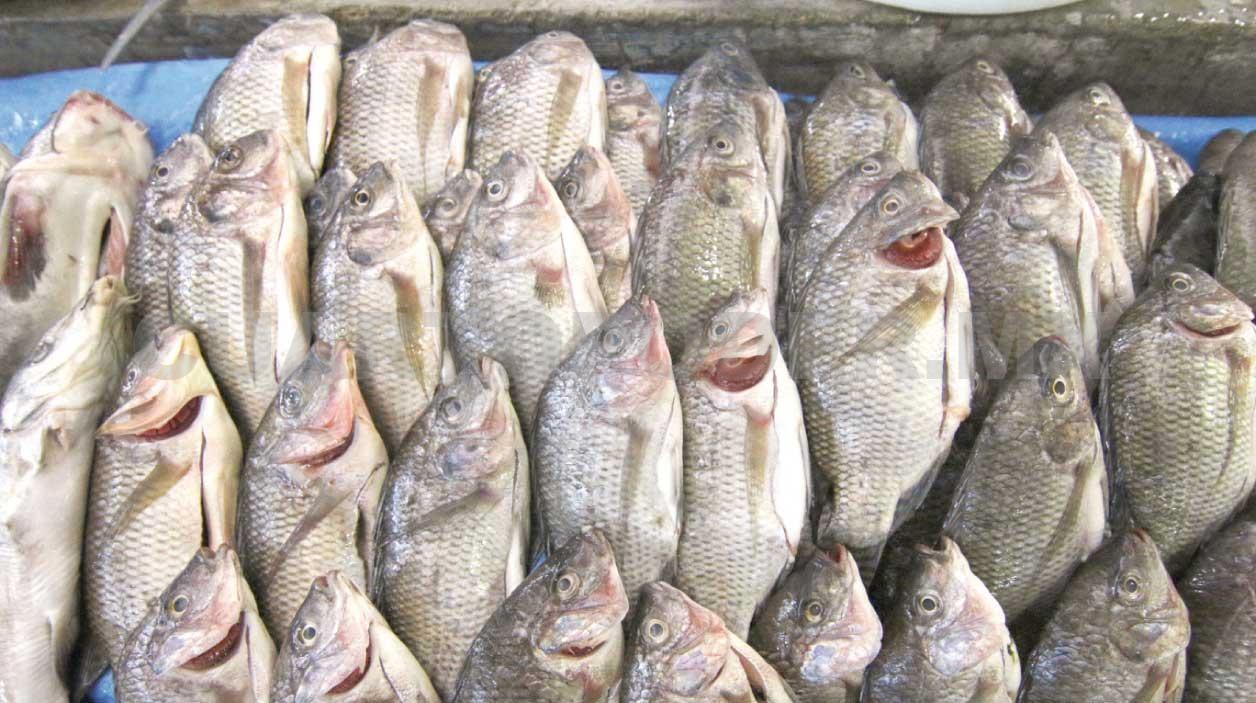 Alertan presencia de qu micos en pescado chino for Crianza de tilapia en estanques