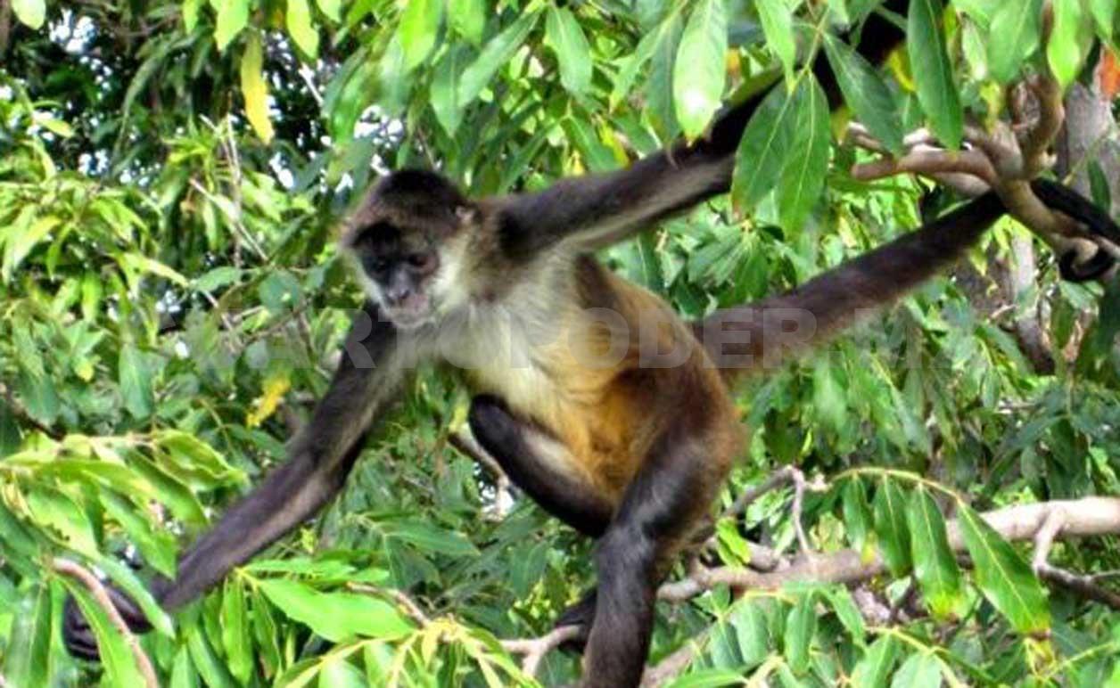 Disminuye Población De Mono Araña