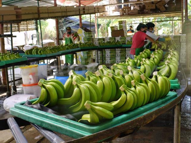 Plátano Chiapas, al mercado Chino