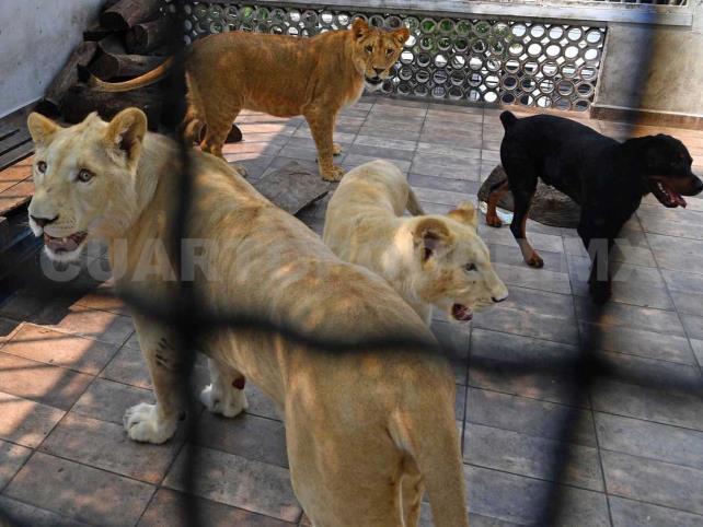 Reportan leones en azotea de casa