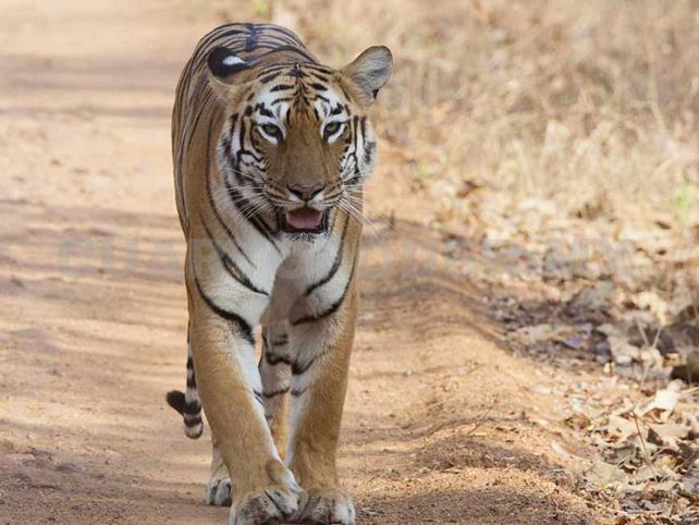 Muere Shere Khan, el tigre de bengala
