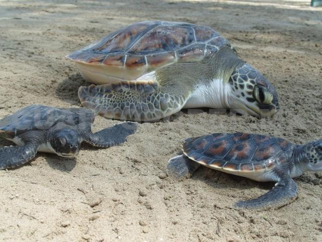 Recolectan 97 huevos de tortuga golfina