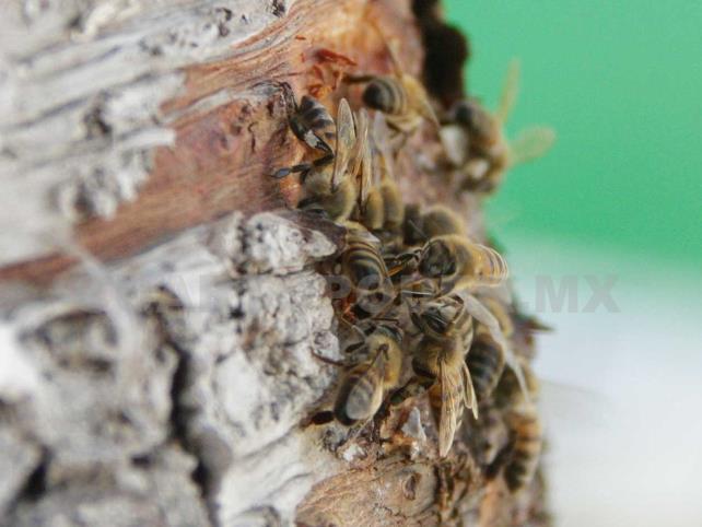 Continúa crisis en la producción de miel
