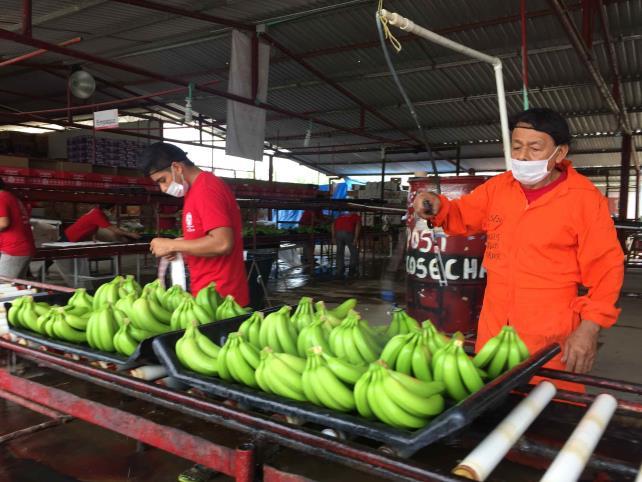 Refuerzan vigilancia ante plagaque ataca a cultivos de plátano