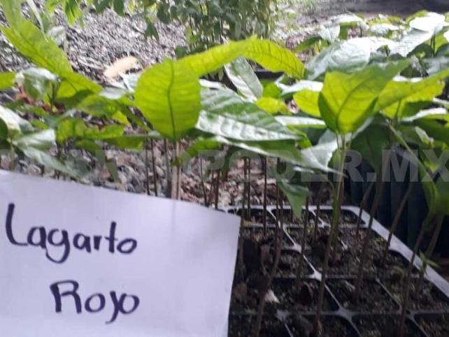 Registran variedades de cacao para certificación