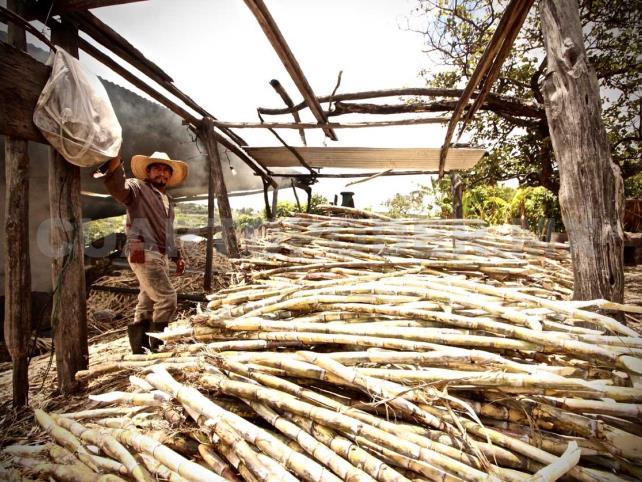 Producción de caña en Chiapas va en aumento