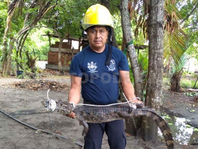 Bomberos rescatan a cocodrilo atrapado
