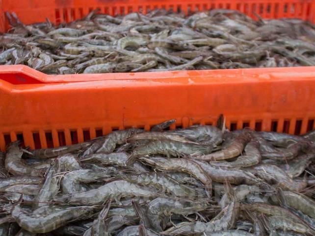 Afectan restricciones de importación de camarón