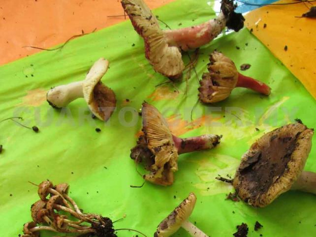 Buscan prevenir consumo de hongos tóxicos
