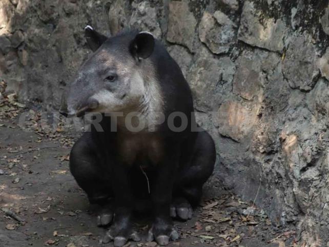 ZooMAT y ZooLeón trabajan para conservar al tapir